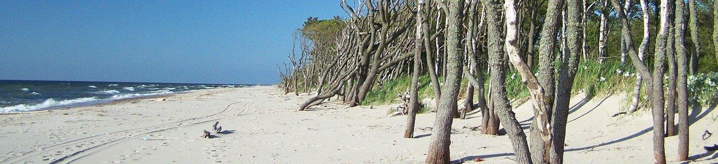 drzewa na plaży na mierzei jeziora Kopań