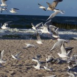 mewy na plaży