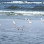 ptaki nad morzem - okolice plaży w Kopań
