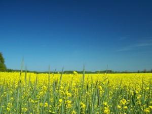 kwitnące łany rzepaku na polach koło wioski Wicie