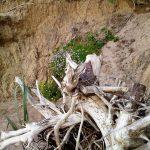 korzeń pod nadmorskim klifem